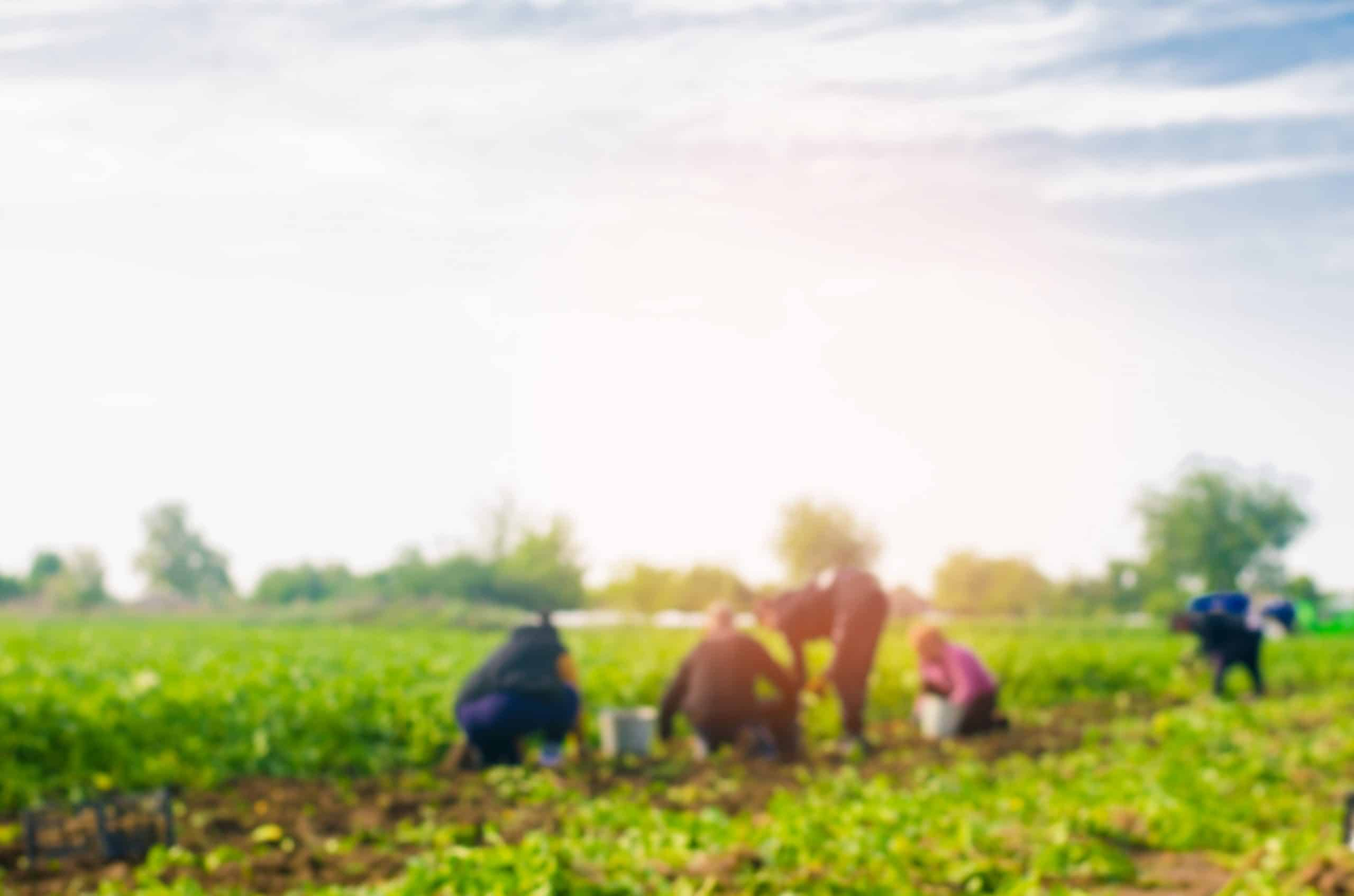 Workers,Work,On,The,Field,,Harvesting,,Manual,Labor,,Farming,,Agriculture,